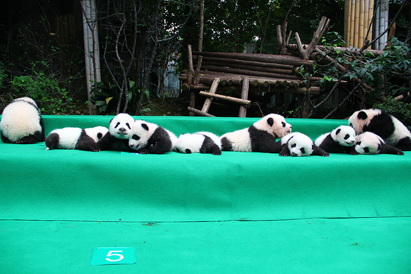 The introduction of  panda cubs  of 2017